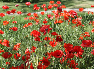 Red Poppy Festival Rescheduled