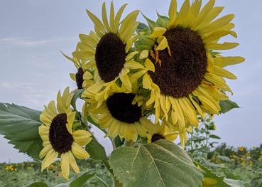 2nd Annual Sunflower Festival